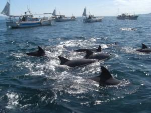 漁船から観察するイルカウォッチング(天草市五和支所二江出張所提供)