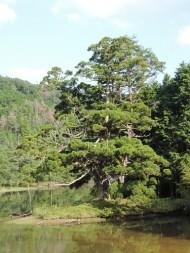 岩尾池の一本杉DSCN1000