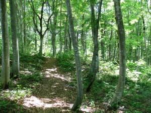 ブナ林の中に昔からの道がある