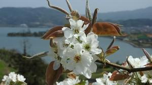 梨の花①s