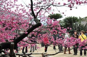 例年2月下旬に見頃を迎える鍋島邸の緋寒桜(朝日新聞)