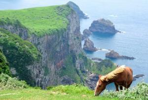 絶壁の上で草を食べる西ノ島の放牧馬(朝日新聞)