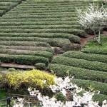 桜や梅、レンギョウに彩られた茶畑