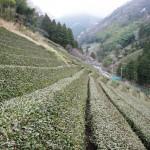 急峻な谷間の斜面に茶畑が広がる